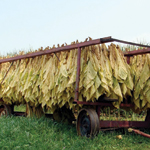 suncured tobacco